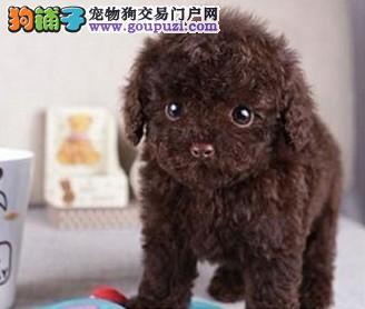精品茶杯犬出售 可视频看狗 签售后协议 全国包邮
