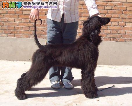 绍兴市出售阿富汗猎犬 公母都有 可视频看狗 签协议