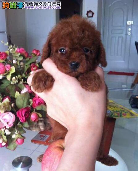 茶杯泰迪熊好不好养广州泰迪熊狗玩具型泰迪小狗出售
