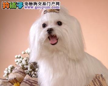 和田售漂亮可爱马尔济斯犬纯种血统好品相好上门看优惠