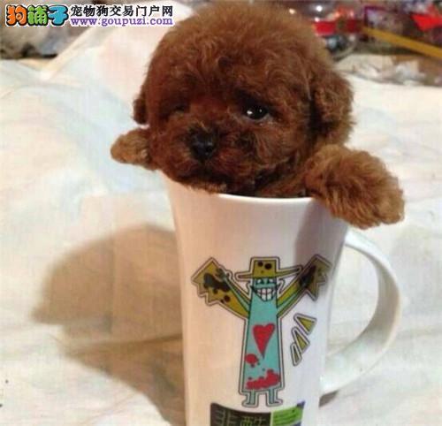 高品质茶杯犬 不怕货比货 就怕不识货好不好一看就知道1
