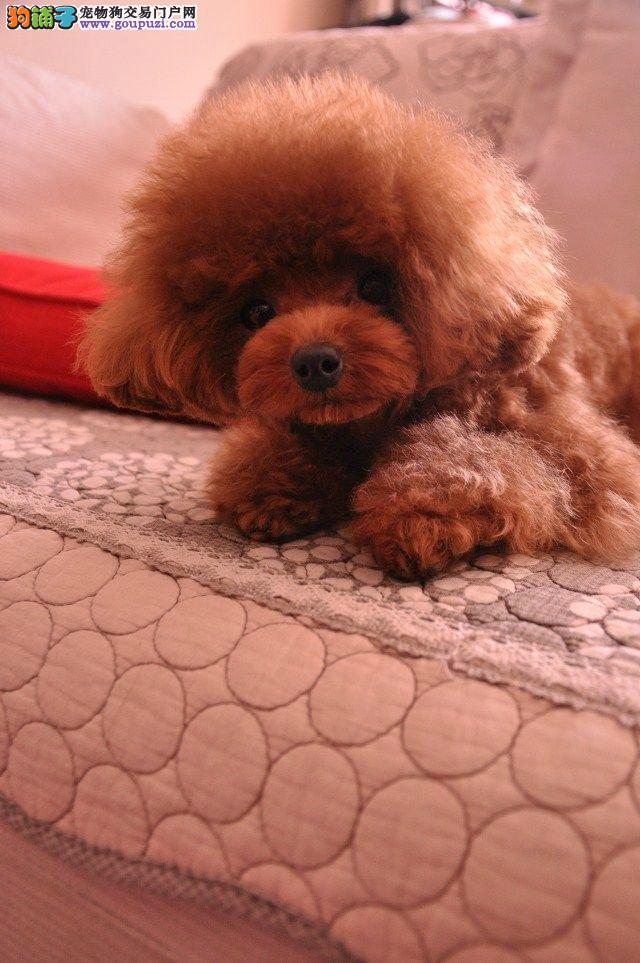 杭州哪里有卖袖珍犬纯种袖珍多少钱茶杯迷你袖珍犬出售