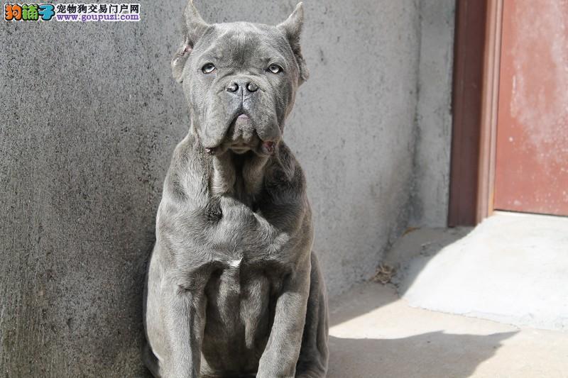 高品质卡斯罗犬不怕货比货就怕不识货好不好一看就知道