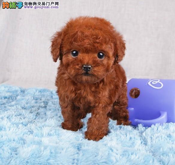 CKU犬舍认证出售高品质郑州茶杯犬期待您的光临1