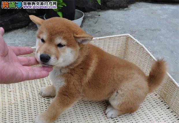 精品柴犬幼犬一对一视频服务买着放心微信咨询视频看狗