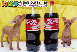 珠海狗场直销售纯种小鹿犬铁包金黄色小鹿幼犬签协议