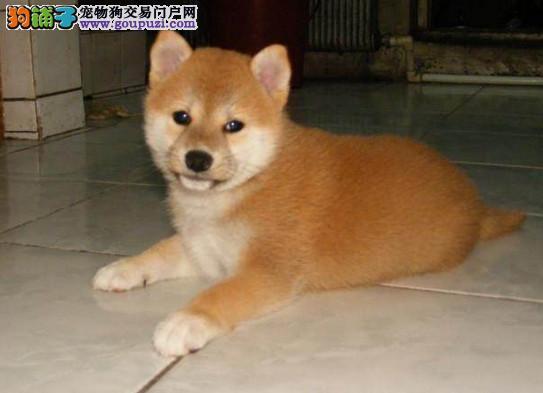 北京直销柴犬疫苗驱虫均已做完可签协议日系柴犬