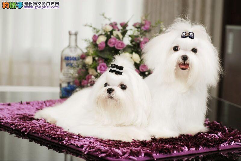 沈阳出售马尔济斯幼犬品质好有保障价格美丽品质优良