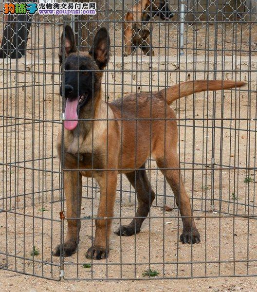 福州哪里有卖马犬颜色齐全公母都有签订协议终身质保