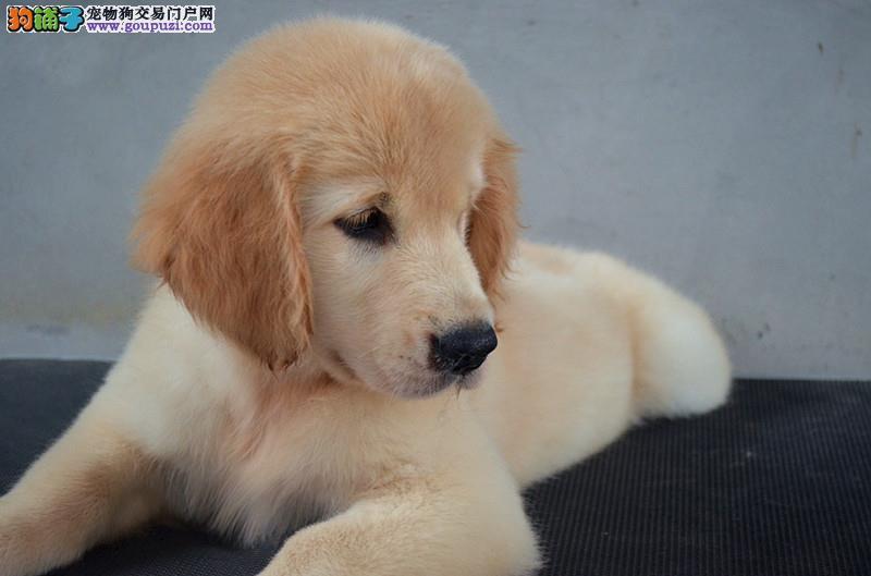 宽嘴大头黄金猎犬金毛犬西安低价出售 毛色均匀品相好