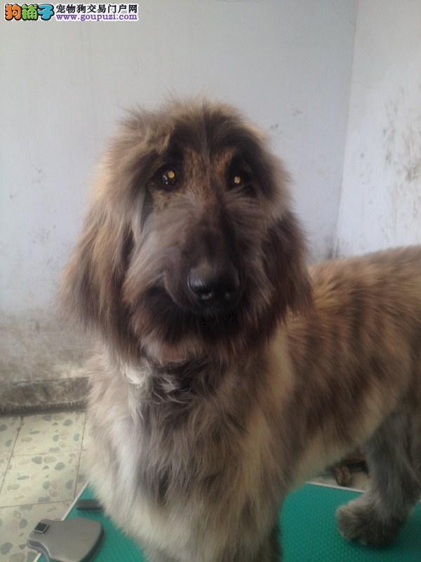 繁殖基地出售多种颜色的阿富汗猎犬可以送货上门