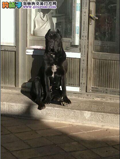 沈阳出售卡斯罗 小狗出售卡斯罗