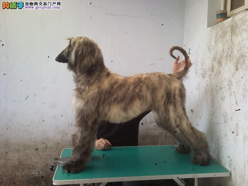 郑州市出售阿富汗猎犬 全国发货血统纯正签售后协议
