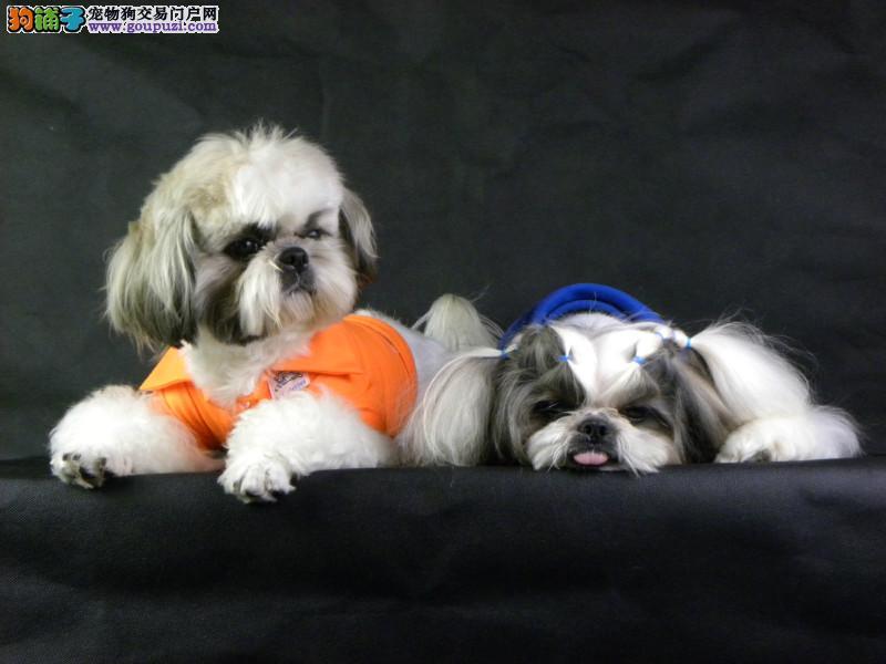 精品纯种长沙西施犬出售质量三包可直接微信视频挑选3