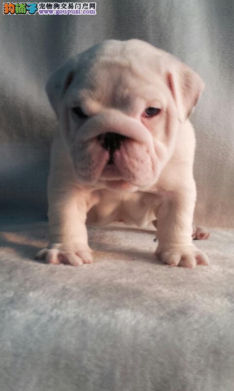 高品质英国斗牛犬出售 可视频看狗 全国包邮 血统纯正