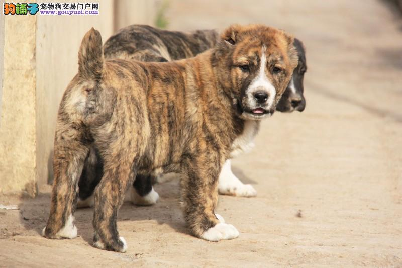 多种颜色的重庆中亚牧羊犬找爸爸妈妈签协议上门选