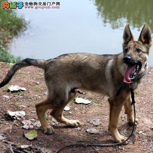 正规犬舍高品质狼狗带证书三针疫苗齐全
