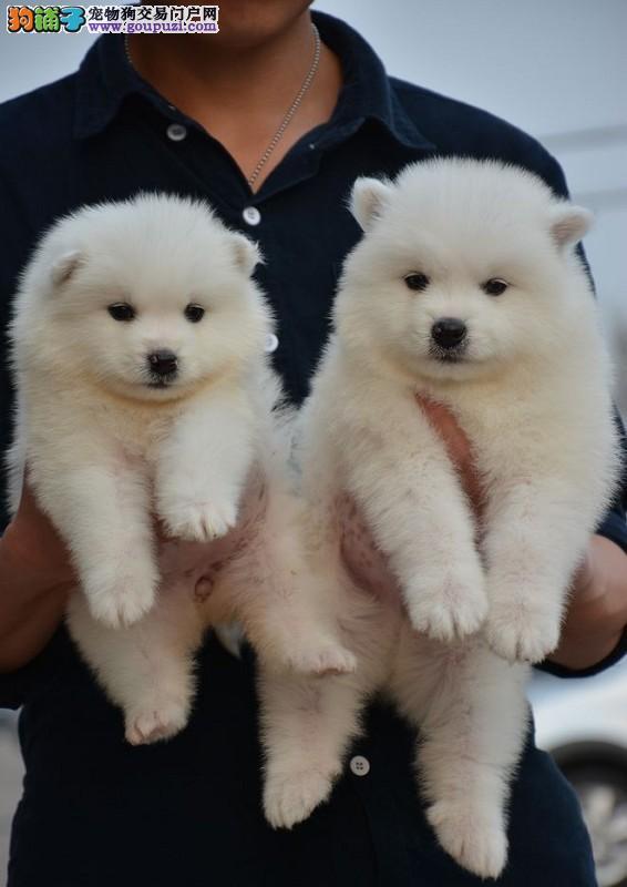 宜春家养纯种银狐幼犬转让狗狗是正宗的日本尖嘴银狐犬