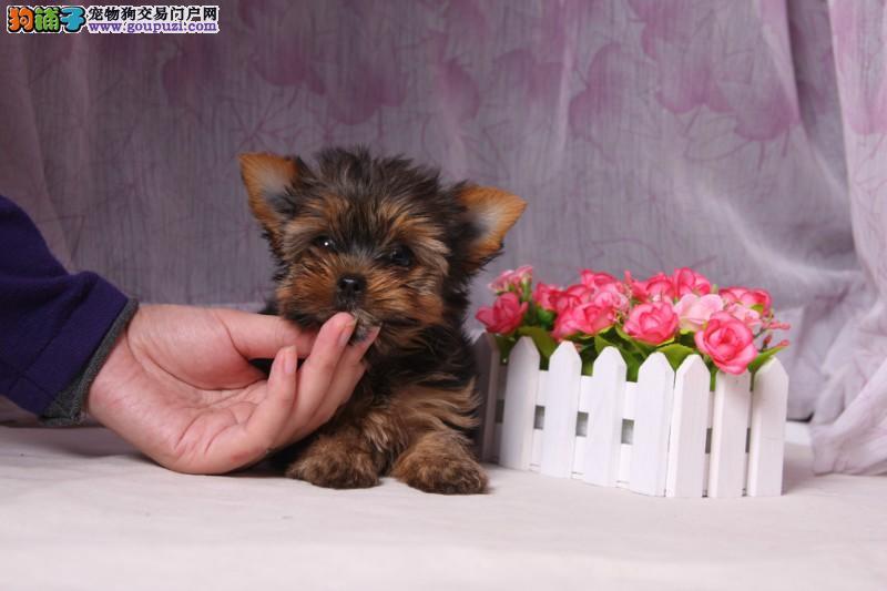 出售多种颜色纯种约克夏幼犬赛级品质血统保障
