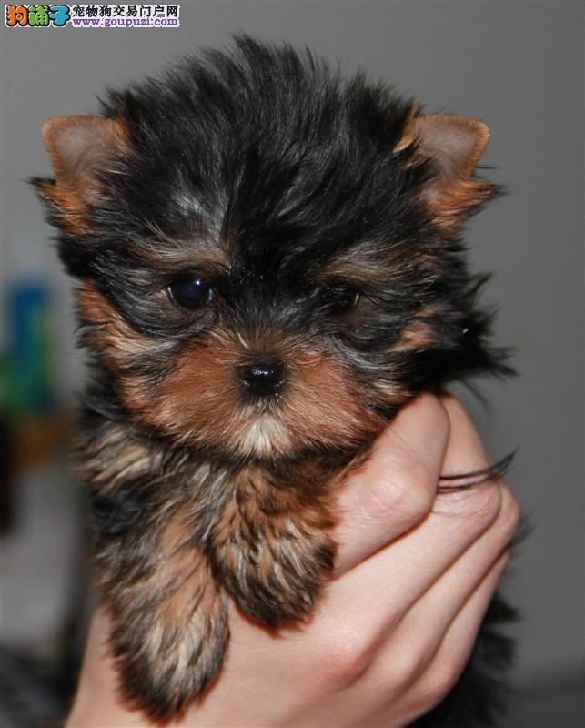 国际注册犬舍 出售极品赛级约克夏幼犬期待您的光临