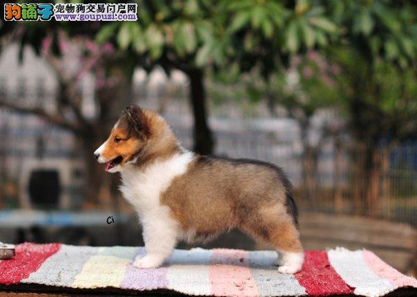 出售多种颜色纯种喜乐蒂幼犬CKU认证品质绝对保障