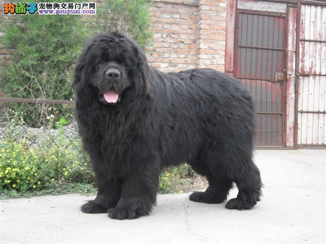 成都CKU认证犬舍出售高品质纽芬兰犬可直接视频挑选