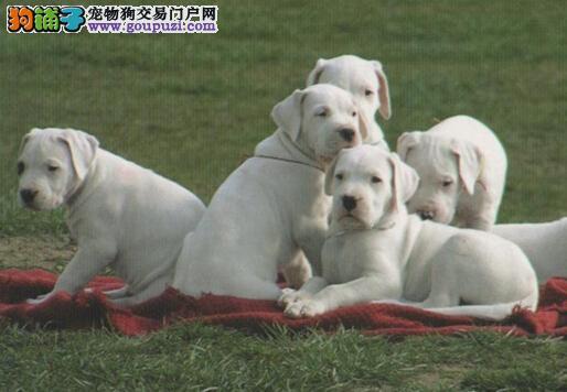 补钙新建议 给杜高犬补钙要遵守的原则