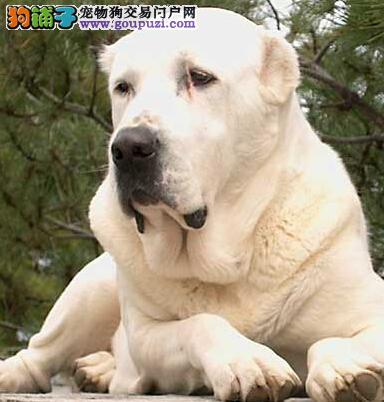 宠物教练告诉你如何应对中亚牧羊犬的咬人恶习