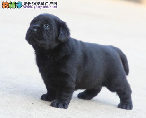 西宁市出售拉布拉多犬 公母都有 疫苗齐全 可上门挑选