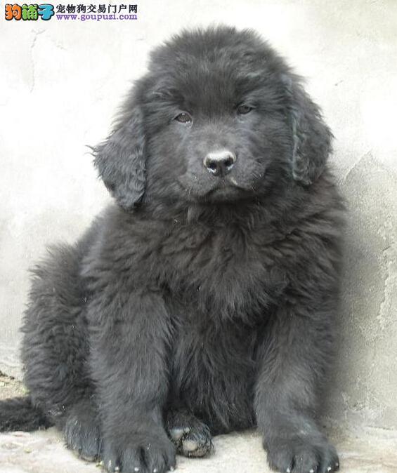 赤峰出售巨型犬纽芬兰犬幼犬 国外最新引进 品质保证