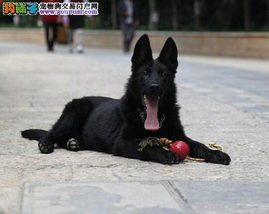 CKU认证犬舍出售高品质比牧微信咨询看狗狗视频2