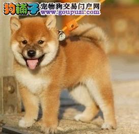 成都出售日本柴犬 纯种健康 支持送货 签健康协议