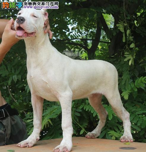 纯种犬繁殖基地杜高犬 带证书芯片质保三年 上门亲选2