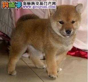 出售多种颜色南宁纯种柴犬幼犬保障品质售后
