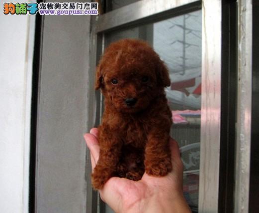 出售南昌茶杯犬专业缔造完美品质可刷卡可视频3