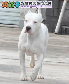 自家狗狗繁殖的纯种杜高犬低价出售