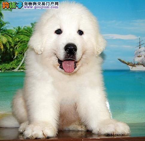 专业正规犬舍热卖优秀重庆大白熊欢迎您的指导