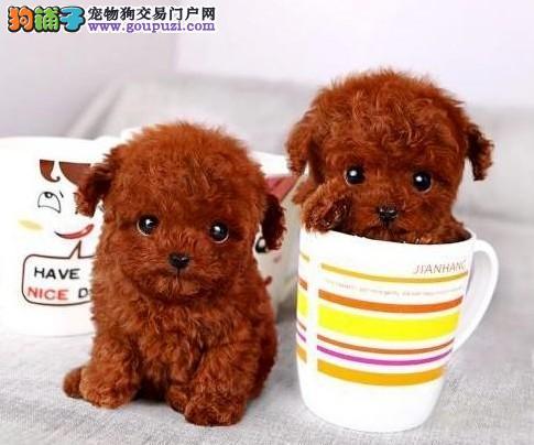 犬舍直销品种纯正健康茶杯犬签订协议终身质保2