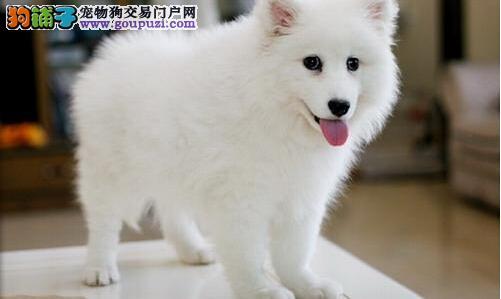 热卖银狐犬宝宝 纯种健康品相优良 签订活体协议