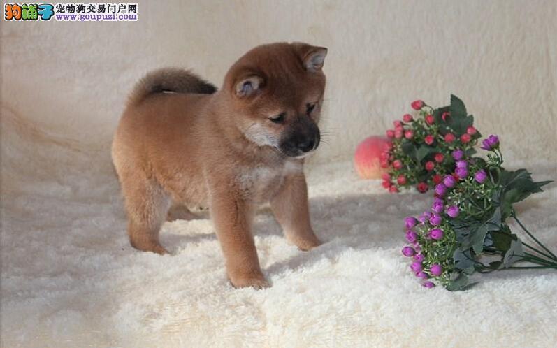 九江直销纯种日系柴犬多年专业繁殖高品质幼犬保证健康