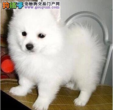 三亚最大的银狐犬基地 完美售后优惠出售中狗贩子勿扰4