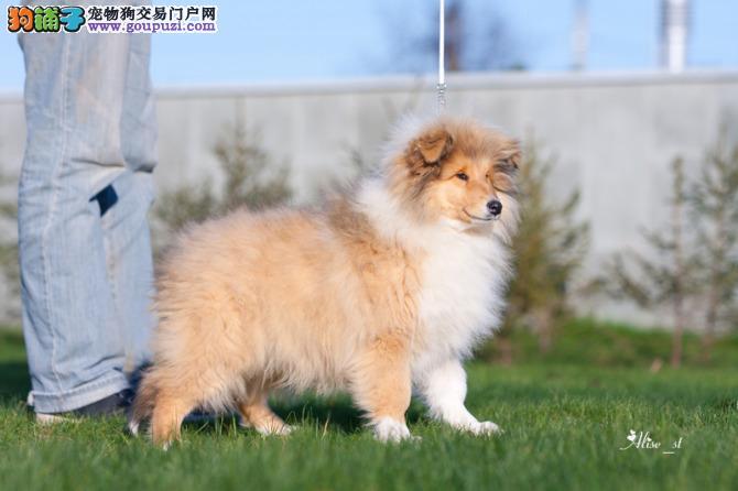 杭州下城区纯种喜乐蒂待售 幼犬健康包一个月