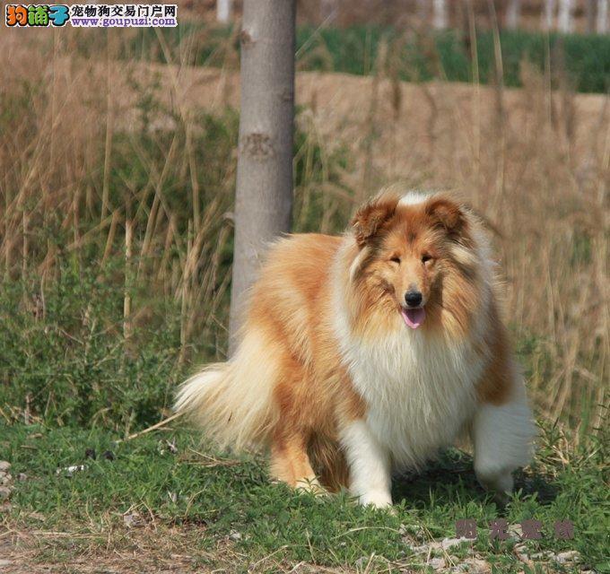 广州哪里有狗场卖喜乐蒂犬 喜乐蒂犬价格 纯种喜乐蒂犬