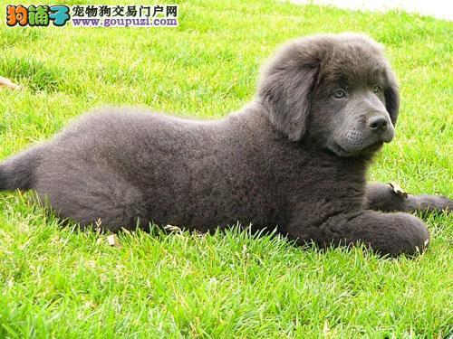 南宁市出售纽芬兰犬 可视频看狗 质保三年 签售后协议
