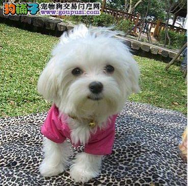 哪里有马尔济斯犬出售 纯种马尔济斯好多钱1