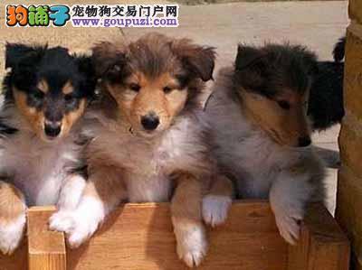 三亚纯种苏格兰牧羊犬幼犬出售 血统纯保健康优惠价格