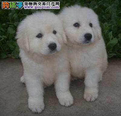 武汉售纯种大白熊幼犬甜美健康大白熊犬疫苗驱虫已做