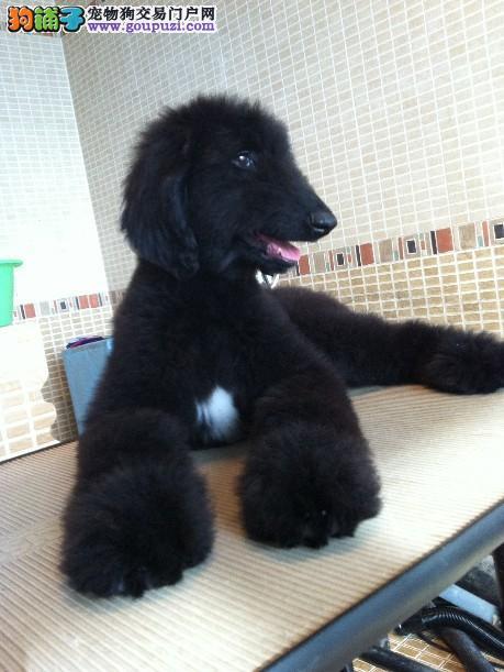 肇庆出售阿富汗猎犬幼犬 质量三包国外引进品质优良