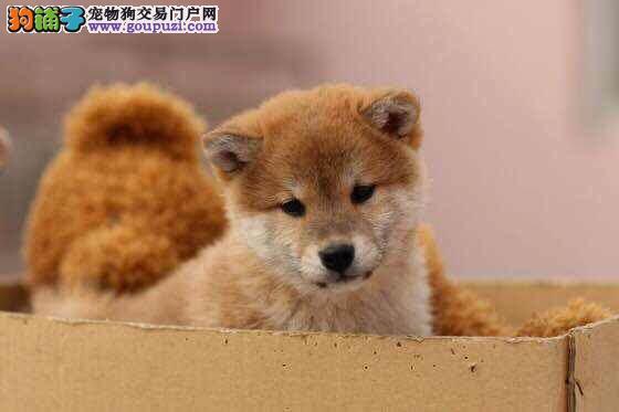 哪里有卖柴犬的柴犬多少钱一只