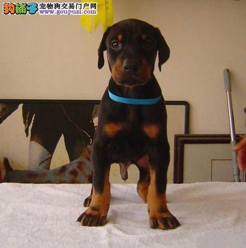 哪里有卖纯种健康的杜宾幼犬品质保证